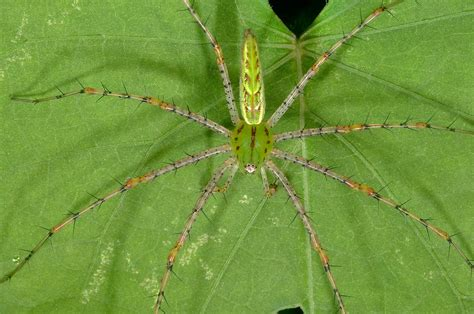 Garden Spider Green by Green Garden Spider Identification
