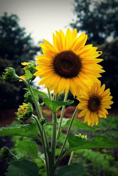 Missfairyblossom Unknown Source Sunflower Pictures