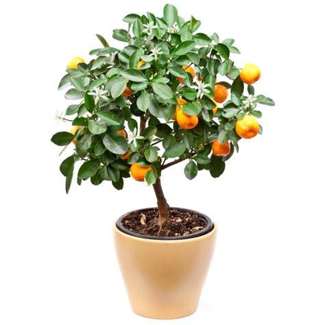 ORANGER (Citrus sinensis) Plantes et nature