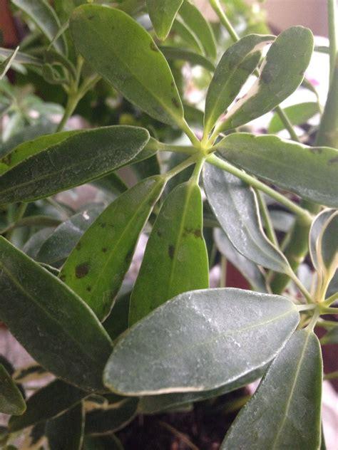 Why is my Schefflera losing healthy looking leaves ...