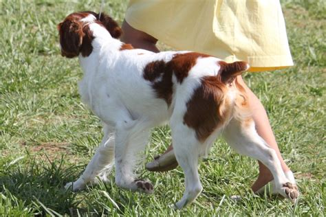 brittany breed information brittany images brittany dog