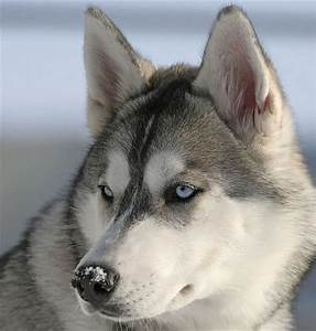 Oxreg: grey husky puppy