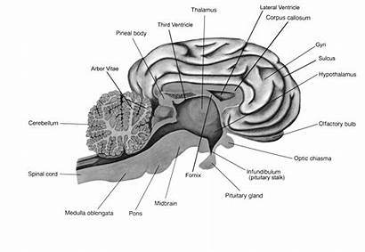 Sheep Brain Worksheet Labeled Dissection Lab Parts