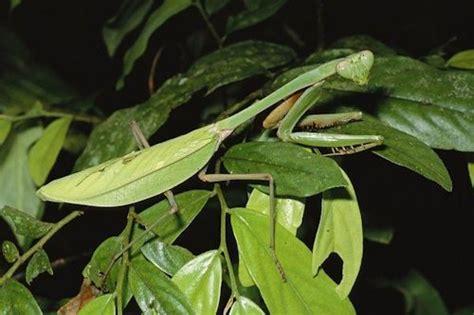 praying mantis colors colors for critters praying mantis