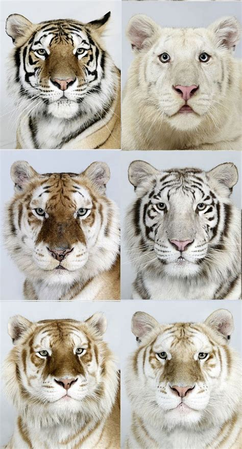 The Different Colors Beautiful Tigers Cutest Animals