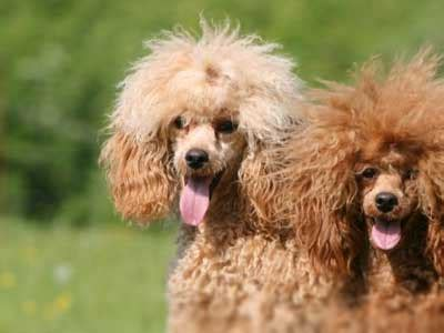 miniature poodle information characteristics facts names