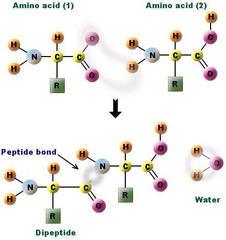peptide bond what is peptide bond peptide bond