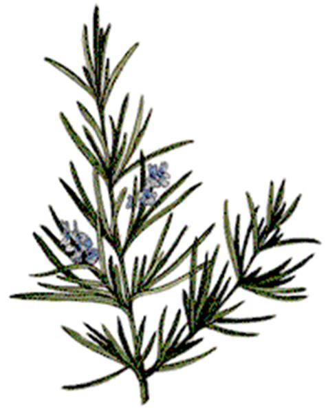 Rosemary Herb Diagram by Rosemary Books Of Shadows Magical Properties Of Herbs