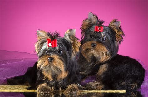 wallpaper yorkshire terrier dogs puppies hd animals