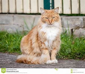Ginger And White Tabby Cat Sitting On The Sidewalk Stock ...
