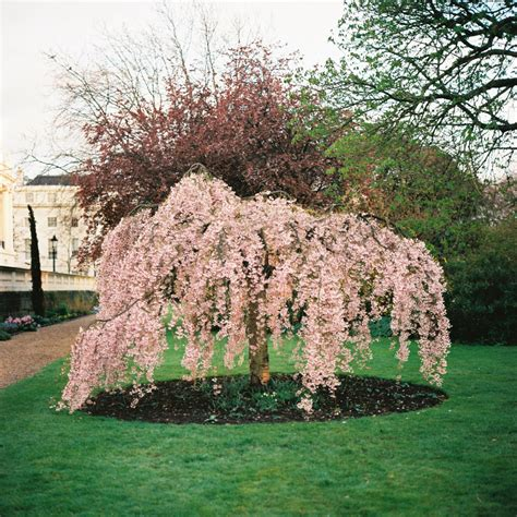 weeping cheery tree four by three weeping cherry tree four by three