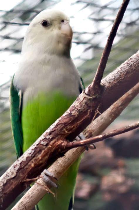 inseparable  tete grise agapornis canus oiseaux exotiques