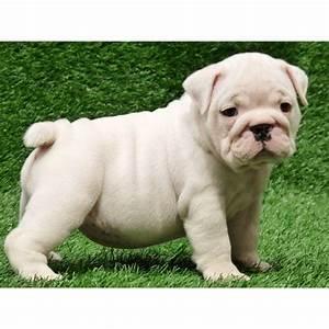 Englische Stilmöbel Berlin : englische bulldogge welpen f r gute hause in berlin tiere kleinanzeigen ~ Indierocktalk.com Haus und Dekorationen