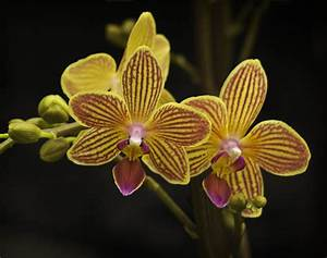 Jim Cox Photos  Yellow Striped Orchids Edmonton Orchid Show
