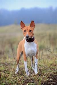 Black Basenji Dog Breed | newhairstylesformen2014.com