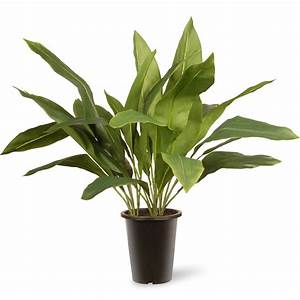 National Tree Co Aspidistra Floor Plant in Pot & Reviews