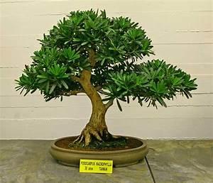 Ficus Bonsai Schneiden : 3 gatunki bonsai dla pocz tkuj cych do domu lub mieszkania kocham bonsai blog ~ Indierocktalk.com Haus und Dekorationen