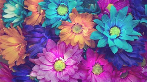 colorful daisy flowers pink blue orange background