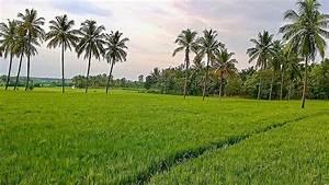 Paddy field - Wikipedia