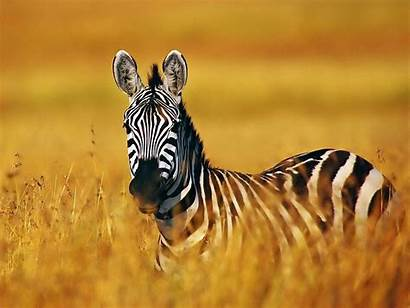 Zebra Wallpapers Backgrounds Tag