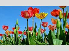 Tulips 4K Wallpaper Background HD Wallpaper Background