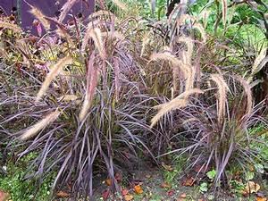 Rotes Gras Winterhart : rotes ziergras winterhart pflanzen f r nassen boden ~ Michelbontemps.com Haus und Dekorationen
