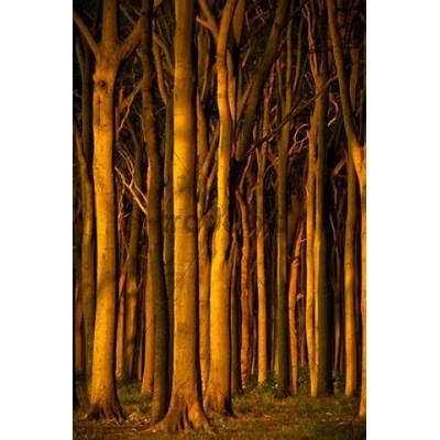 Beech forest in evening light ghost / Nienhagen