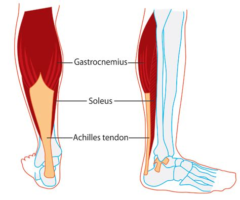 The lower extremity (the leg) consists of the hip (the thigh), the knee, the calf, the ankle and the foot. Soleus: Origin, Insertion, Action & Nerve Supply   Calf muscles, Muscles in your body, Fitness facts