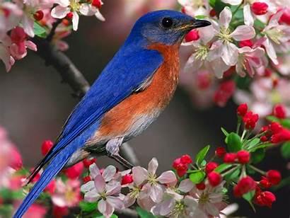 Bird Bluebird Spring Wallpapers Houses Cool Bluebirds