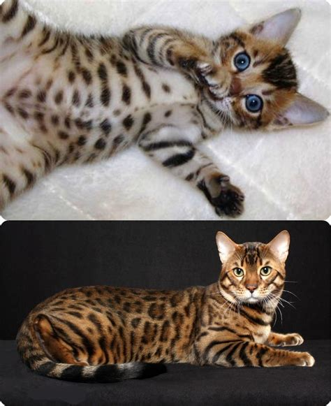 17 Best Images About My Dream Cat Asian Leopard On