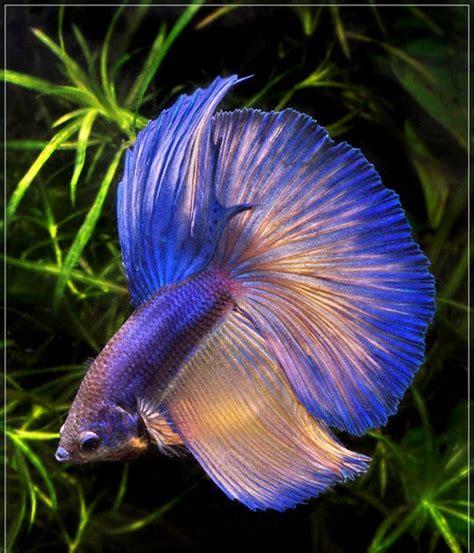 Ikan Cupang Hias Tercantik infothanks ikan cupang tercantik di dunia