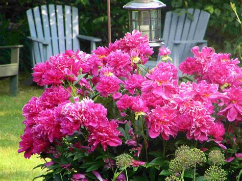photos of perennial flowers maintaining and using perennial flowers national association of baby boomer women nabbw