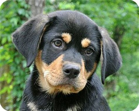 ronnie adopted puppy charlemont ma rottweiler
