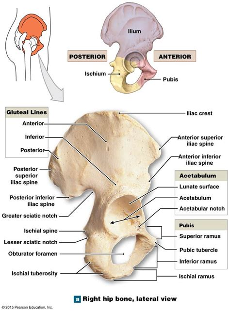 ischium    coxal bone anatomy bones