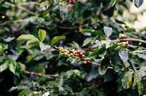 31,000+ vectors, stock photos & psd files. Arabica coffee bean tree   Free Photo
