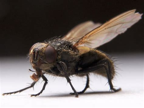 flies in my house tons of big flies in my house last night half dead half alive howe move food san