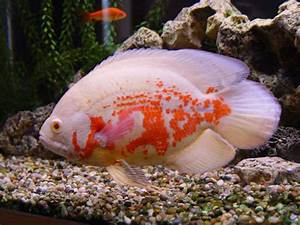 Fish Popular: Basic Information about Oscar Fish