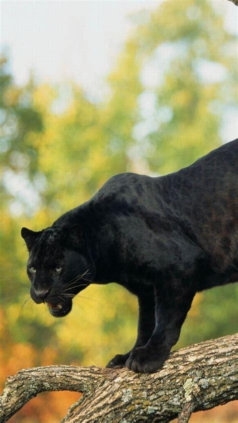 wallpaper panther black  animals