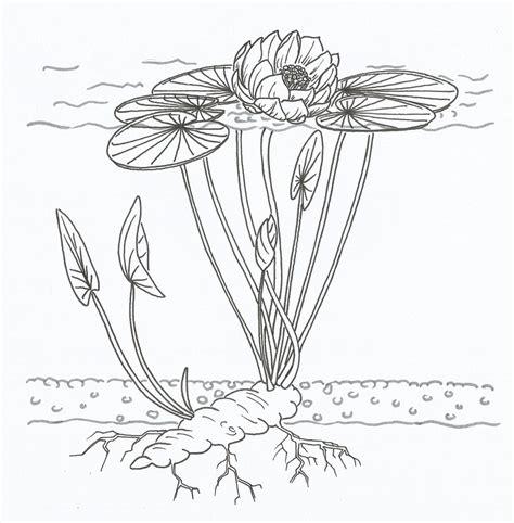 Diagram Of Water Flower by Free Illustration Lotus Diagram Water Plant