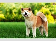 Finding out more about the large, bold Japanese Akita dog