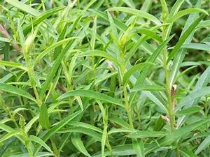 Tarragon: Planting, Growing, and Harvesting   The Old ...