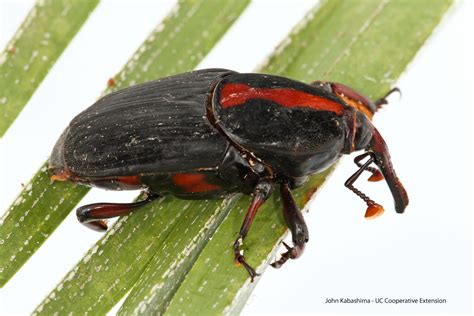 weevil bug of beetles and vire weekend rice university insect biology blog