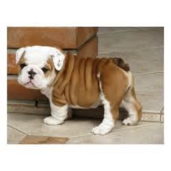 Baby English Bulldog Puppies