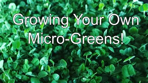 grow your own microgreens why you should grow your own micro greens