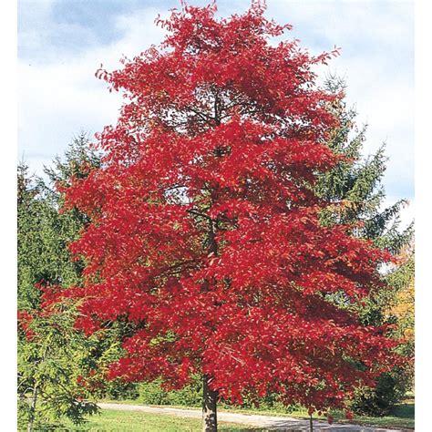 black gum tree shop 3 25 gallon blackgum shade tree lw01684 at lowes com