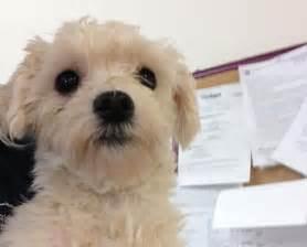 Adoption Small Dog Breeds Puppies