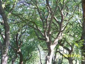 tree free wallpaper elm tree