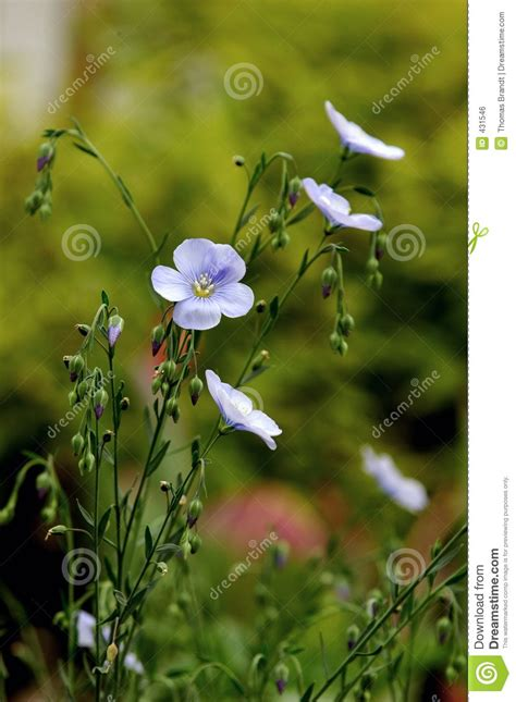 cuisines perenne pendant flower blossoms royalty free stock photo