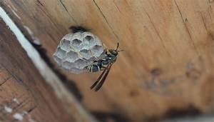 Comment Repérer Un Nid De Frelon : d truire un nid de gu pe les astuces qui marchent ~ Melissatoandfro.com Idées de Décoration