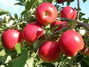 Crimsoncrisp U00ae Apple - Apple Trees